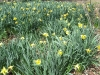 Daffodils at St. Mary's Convent in Sewanee, Tn.