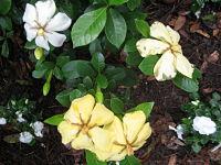 gardenias-after-rain