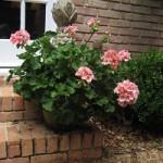 mothers-day-blog-geranium1