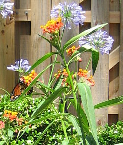 monarch-on-milkweed-for-blog
