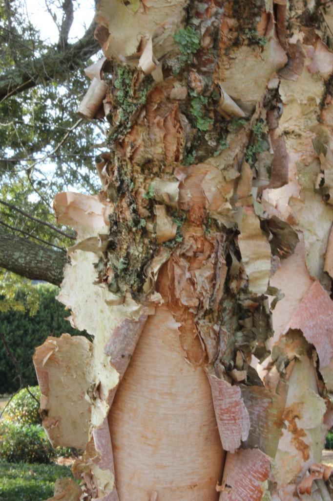shaggy bark of the River Birch