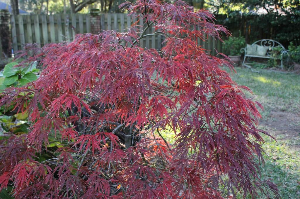 Acer palmatum var. dissectum